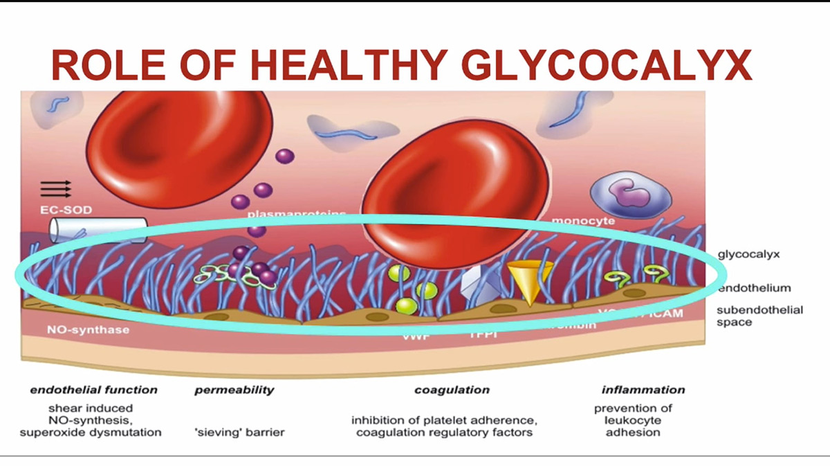 The Endothelial Glycocalyx - The Foundation of Cardiovascular Health